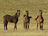 Trio of Thoroughbred Horses  Lexington  Kentucky