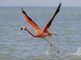 American Flamingo (Phoeniconais Ruber Ruber)  Rio Lagartos Reserve  Yucatan  Mexico