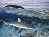 Split Image of a Gray Reef Shark (Carcharhinus Amblyrhynchos) Off Malolo Island  Fiji