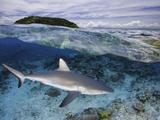 Split Image of a Gray Reef Shark (Carcharhinus Amblyrhynchos) Off Malolo Island  Fiji