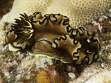Black Margin Nudibranch (Glossodoris Atromarginata)  Indo-Pacific Ocean