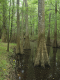 Bald Cypress Trees with Buttress Roots