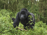 Silverback Mountain Gorilla Walking (Gorilla Beringei Beringei)  Volcanoes National Park  Rwanda