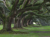Live Oaks  Quercus Virginiana  Oak Alley Plantation  Vacherie  Louisiana
