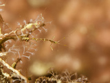 Tiny Skeleton Shrimp  a Caprellid Amphipod  Inhabits This Gorgonian Coral  Malaysia