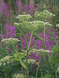 Cow Parsnip Flowers with Fireweed in the Background