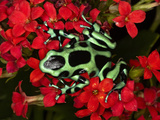 Green and Black Poison Dart Frog (Dendrobates Auratus)  Costa Rica