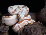 Albino Red-Tail Boa Constrictor (Boa Constrictor Constrictor)  Captive  South America