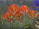 Indian Paintbrush (Castilleja)  Sangre De Cristo Mountains  Colorado  USA