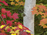 Red Maple Leaves and Birch Tree in Autumn Colors  White Mountain National Forest  New Hampshire