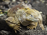 The Galapagos Land Iguana (Conolophus Subcristatus) Is Endemic to the Galapagos Islands