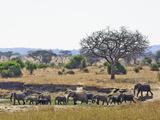 African Bush Elephants (Loxodonta Africana)  Tarangire National Park  Tanzania  Africa