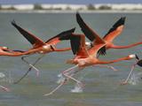 American Flamingos (Phoeniconais Ruber Ruber)  Rio Lagartos Reserve  Yucatan  Mexico