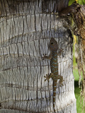 "Tokay Geckos are Among the Largest Geckos  with Adults Averaging 10-12"" in Total Length"