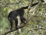 Guatemalan or Black Howler Monkey Calling (Alouatta Pigra)  Belize