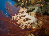 Alconarian and Gorgonian Coral Dominate This Fijian Reef Scene  Fiji
