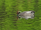 Male Falcated Duck or Falcated Teal  Anas Falcata