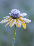 Frost on a Black-Eyed Susan (Rudbeckia Hirta)