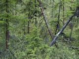 Drunken Forest Formed by Thawing Permafrost Soil Near Cherskiy  Siberia  Sakha Republic