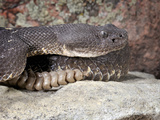 Adult Arizona Black Rattlesnake (Crotalus Oreganus Cereberus)  Captive