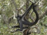 Black-Handed Spider Monkey (Ateles Geoffroyi)  Belize