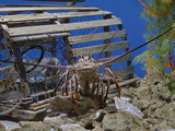 Spiny Lobster Near a Lobster Trap  Panulirus Argus