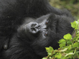 Mountain Gorilla Restng (Gorilla Beringei Beringei)  Volcanoes National Park  Rwanda