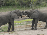 Their Trunks Intertwined  Two Young African Elephant Bulls Challenging Each Other