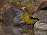 Evening Grosbeak (Coccothraustes Vespertinus) Male Drinking Water at the Edge of a Small Pond