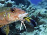 Yellowfin Goatfish  (Mulloidichthys Vanicolensis) and an Endemic Hawaiian Cleaner Wrasse