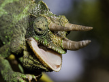 Head of a Male Jackson's Chameleon (Chamaeleo Jacksoni) with Open Mouth