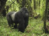 Silverback Mountain Gorilla Standing (Gorilla Beringei Beringei)  Volcanoes National Park  Rwanda