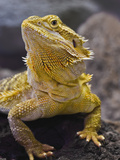 Bearded Dragon  Pogona Vitticeps  Captive