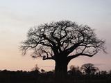 African Baobab Tree (Adansonia Digitata)  Tarangire National Park  Tanzania  Africa