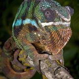 Panther Chameleon (Furcifer Pardalis)  Ambanja  Madagascar  Captive