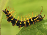 Rusty-Tipped Page Butterfly Caterpillar (Siproeta Epaphus)  Colombia