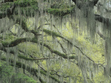 Live Oak Tree  Quercus Virginiana  Draped with Spanish Moss  Tillandsia Usneoides  Southern USA