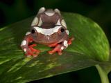 Clown Tree Frog (Dendropsophus Leucophyllatus)  Captive