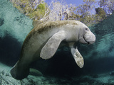 Florida Manatee  Three Sisters Spring in Crystal River