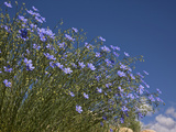 Blue Flax (Adenolinum Lewisii) Against a Blue Sky  Colorado  USA