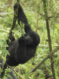 Young Mountain Gorilla Hanging from a Branch (Gorilla Beringei Beringei)  Volcanoes National Park