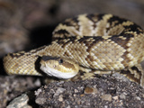 Young Arizona Black Rattlesnake (Crotalus Oreganus Cereberus)  Captive