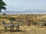 Mixed Herd of Burchell's Zebra (Equus Burchelli) and Blue Wildebeest (Connochaetes Taurinus)