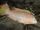 Maori Wrasse (Cheilinus Bimaculatus) Is Common in Shallow Algae Reef Areas  Philippines