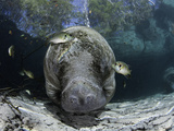 Endangered Florida Manatee  at Three Sisters Spring in Crystal River