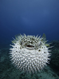 The Spotted Porcupine Fish (Diodon Hystrix) Feeds Primarily at Night on Hard- Shelled Invertebrates