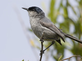 California Gnatcatcher (Polioptila Californica)  San Diego County  California  USA