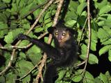 Aye-Aye (Daubentonia Madagascariensis)  Mananara  Eastern Madagascar