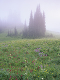 Foggy Meadow with Lupine and Indian Paintbrush Wildflowers  Mt Rainier National Park  Washington
