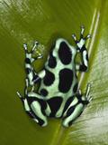 Green and Black Poison Dart Frog (Dendrobates Auratus)  Costa Rica